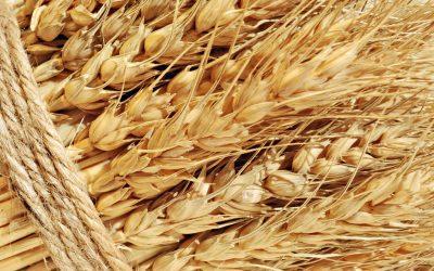 Будет ли введена пошлина на экспортные поставки зерна?